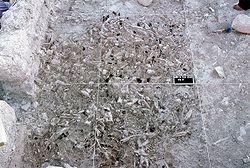 paléoanthropologie archéologie géologie Umm el Tlel el meira évolution migration industrie bitume outils société avancée Eric Böeda persée.fr forum 2001